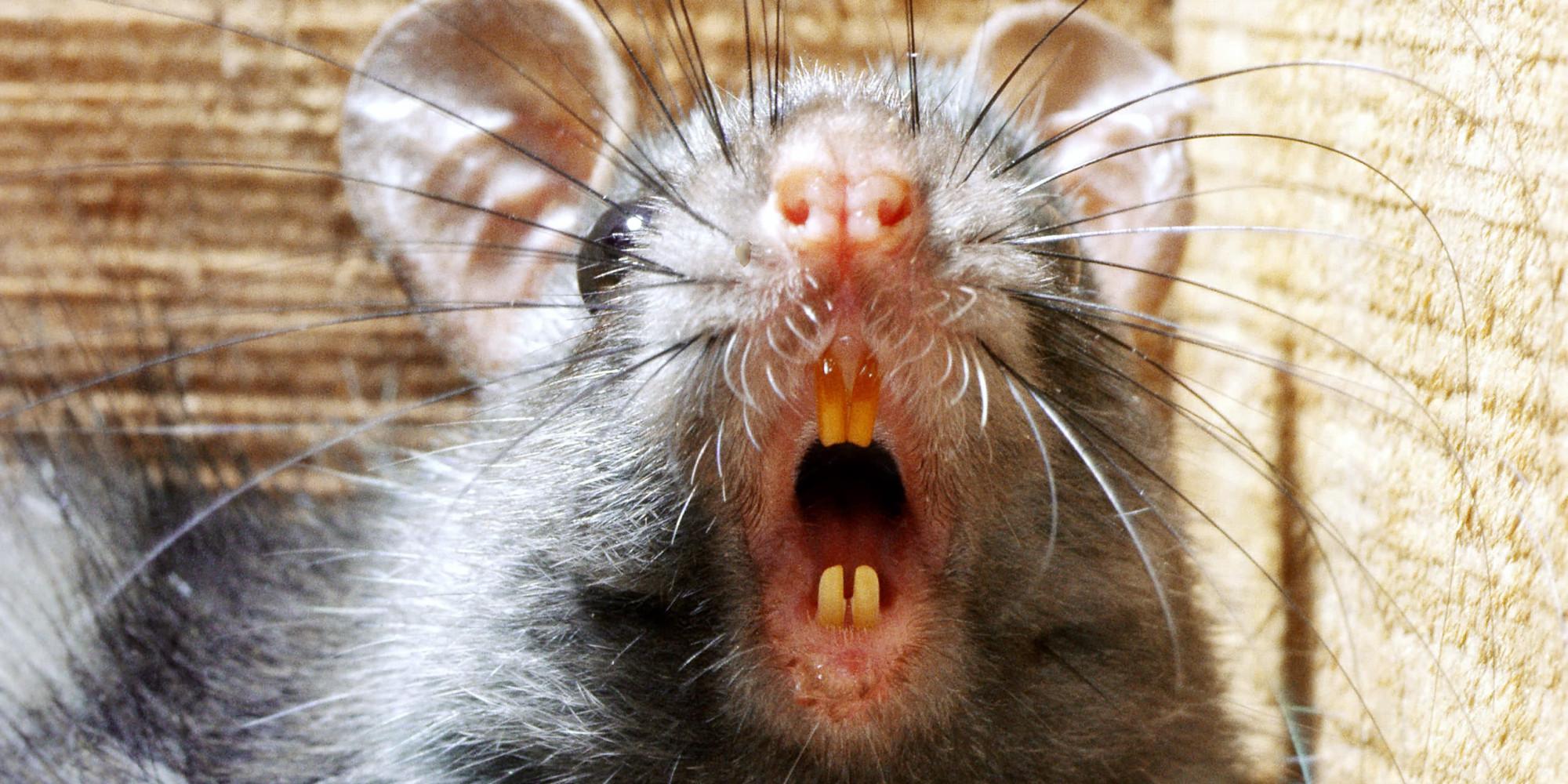 o-RATS-facebook